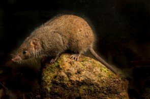 Scientists found male marsupials that fuck to death.