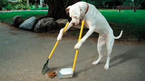Dog picks up poop.