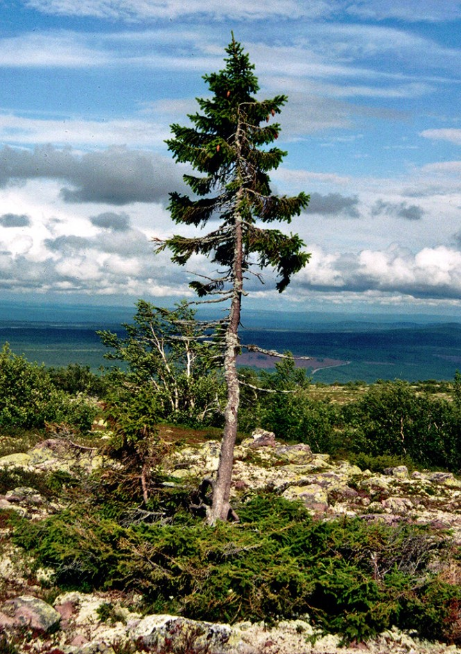 Old-Tjikko-tree