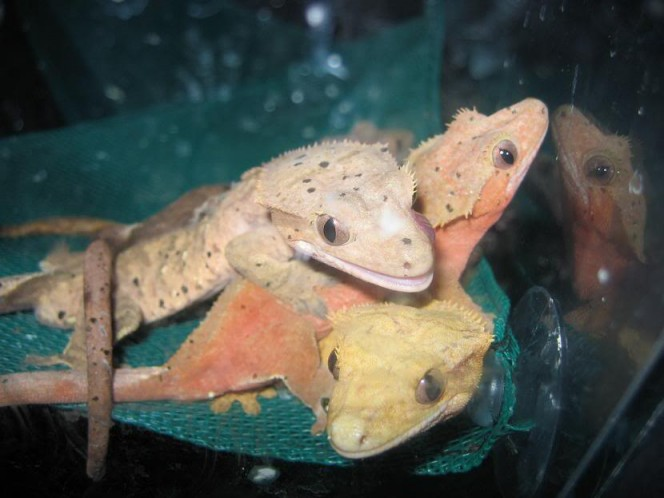 Geckos are having an orgy in space.