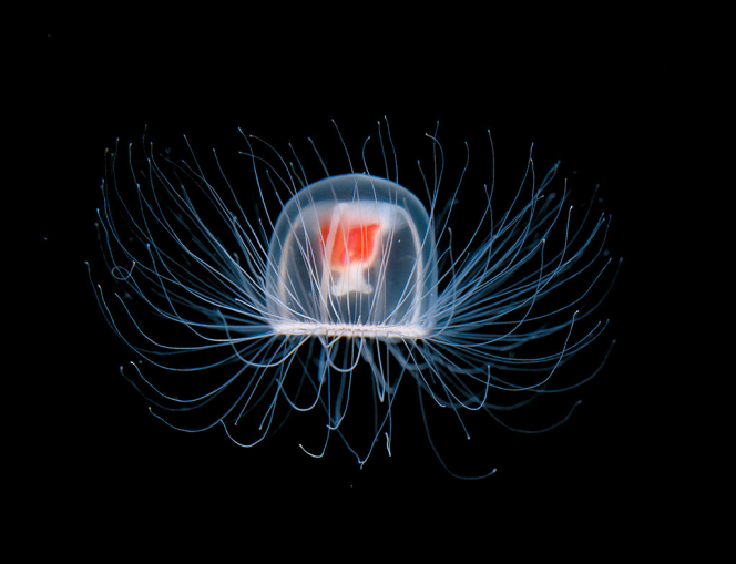 There's a jellyfish that's immortal