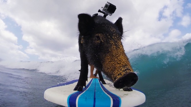 There is a surfing pig
