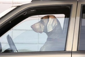 They are teaching dogs how to drive cars in New Zealand.