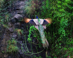 flying peacock - gorgeous, amazing