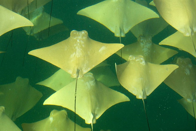 Gold Ray Migration