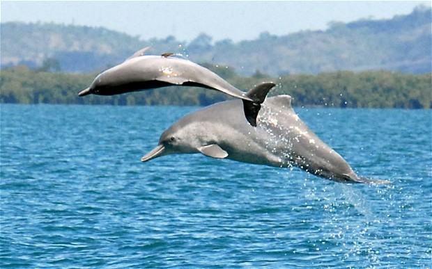 humpback dolphins