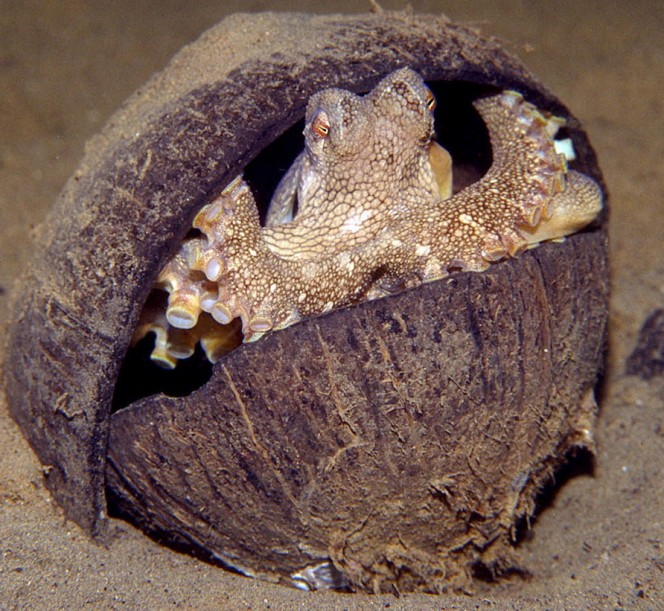 Octopuses sometimes live in coconuts.