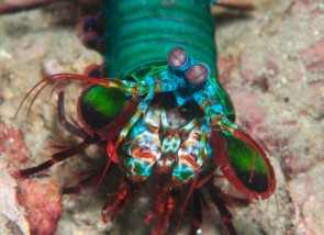 Mantis shrimp can see cancer, so scientists made a camera that can.