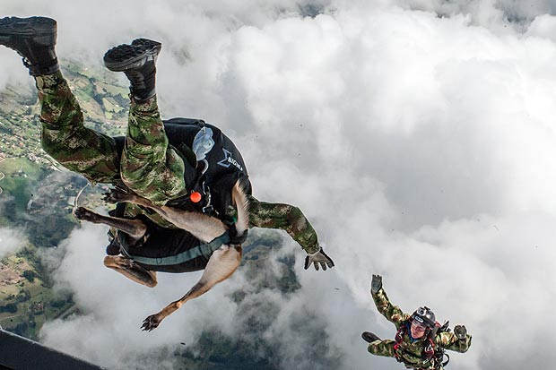 Belgian Malinois sky diving dog