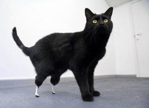 There is a cat with two bionic feet.