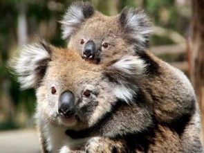 mother-and-baby-koala-australia