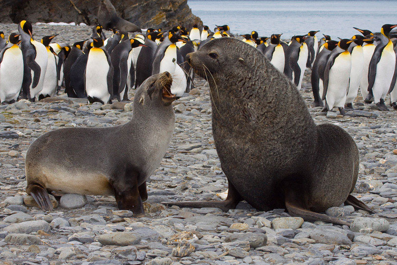 antarctic-fur-seals-king-penguins-lg