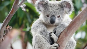 Koalas Have Double Reproductive Organs