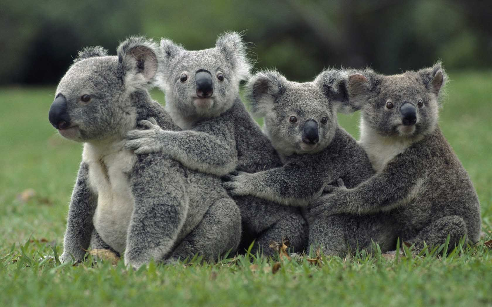 Koala, Unknownlist, Double Organs