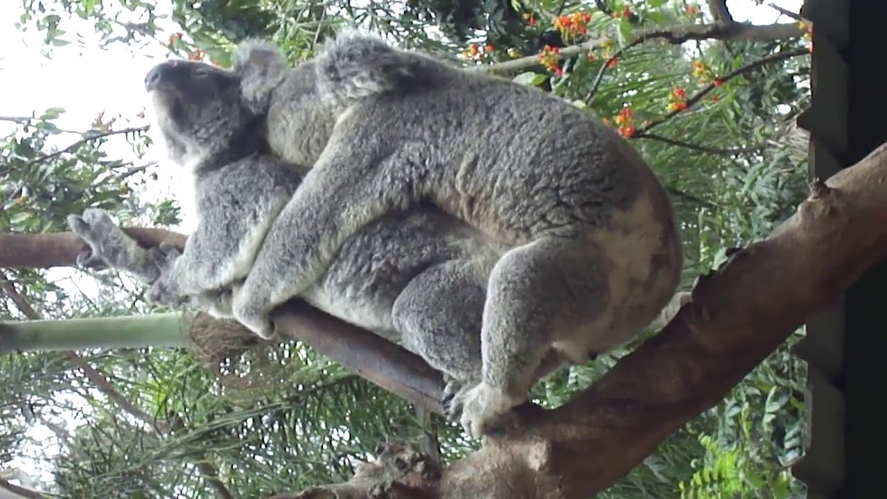 Koala, Unknownlist, Koala Mating,